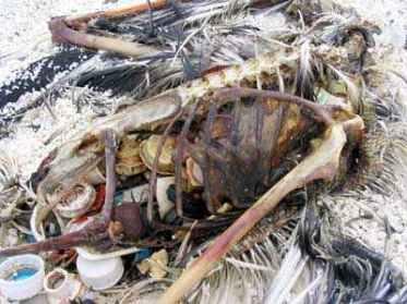 albatros-dechets-plastiques