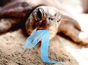 tortue mangeant sac plastique_petite